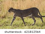 a feral cat walks across the... | Shutterstock . vector #621812564