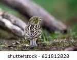 yellowhammer sitting on forest... | Shutterstock . vector #621812828