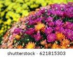 Hardy Mum Flower In Fall Season