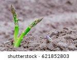 Green Asparagus Plants  Grow ...