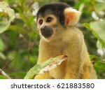 Yellow Spider Monkey