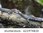 Three Baby Alligators On A Log...
