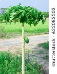 A Green Papaya Is On Tree And...