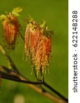 Small photo of Acer negundo - flowering maple tree - natural spring green background