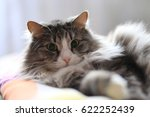 surprised furry cat   Shutterstock . vector #622252439