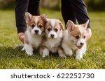 Puppies Corgi