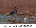Small photo of Crested myna - Acridotheres cristatellus - bird standing in shallow red water with broken blue ripples