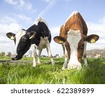 closeup of cows in dutch meadow ... | Shutterstock . vector #622389899