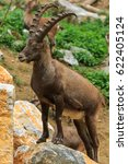 Small photo of Alpine Ibex male standing on the rock