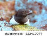 Small photo of Sea birds of high Arctic (the North). Little auk special subspecies (Alle alle polaris), Franz-Josef Land
