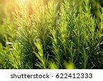 Fresh Rosemary Herb Grow...