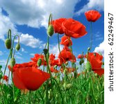 In Poppies Field. Nature...
