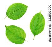 set of apple tree leaves... | Shutterstock . vector #622503200
