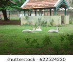 Small photo of Mysore, Karnataka, India - June 15, 2008 Albinistic variant of White Fallow Deer sitting on the green grass at Sri Chamarajendra Zoological Gardens, Mysore Zoo