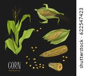 set of corn plant. colorful... | Shutterstock .eps vector #622547423