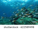 bluestreak fusilier colourfull... | Shutterstock . vector #622589498