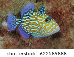 juvenile blue triggerfish have... | Shutterstock . vector #622589888