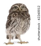 Stock photo young owl standing in front of white background 62260012