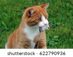 a male red cat hunting a mouse | Shutterstock . vector #622790936