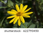 Growing Yellow Helianthus...