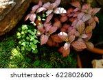 Small photo of Adiantum tenerum cv. Bi-colour