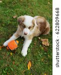 Small photo of Red Merle Aussie pup with Orange football