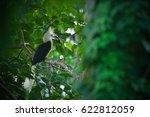 White Crowned Hornbill Eating...