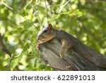 A Fox Squirrel Lounges On A...