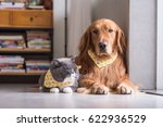 british cat and golden retriever | Shutterstock . vector #622936529