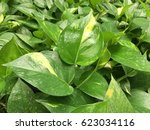 close up Golden Pothos or Devil
