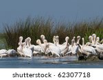 white pelicans colony in danube ... | Shutterstock . vector #62307718