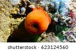 Small photo of Beadlet anemone (Actinia equina) in underwater caves in Bulgaria. Black Sea