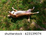 Small photo of A small and sweet light brown and white dog is belly-up on a lawn with a rubber duck in the mouth