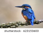 Adult Male Kingfisher  Perched...