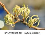 buds of pear tree. young green... | Shutterstock . vector #623168084