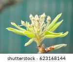 buds of pear tree. young green... | Shutterstock . vector #623168144