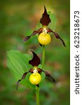 Lady\'s Slipper Orchid ...