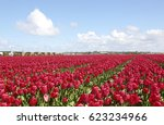 A Field Of Red Tulips In The...
