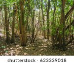 Anaga's Forrest Of Tenerife