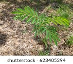Closed Up Young Leucaena...