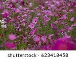 pink cosmos flowers in the... | Shutterstock . vector #623418458