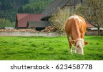 The Cow Eating Grass On Farm...