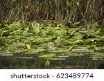 beautiful white waterlily in... | Shutterstock . vector #623489774