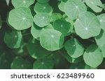 gotu kola  asiatic pennywort ... | Shutterstock . vector #623489960