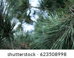 Evergreen Pine Needle Clusters