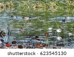 blue winged teal ducks and a... | Shutterstock . vector #623545130