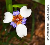 walking iris  also known as... | Shutterstock . vector #623562698