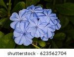 blue plumbago plant in florida... | Shutterstock . vector #623562704