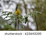 Yellow Rag Wort Flower In Bloo...