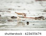 Small photo of The Spotted Sandpiper, actitis macularius, bobs in a constant up-and-down motion as it darts about the ocean surf in search of food.
